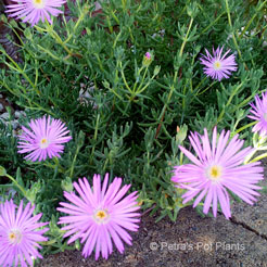 purple Pigface