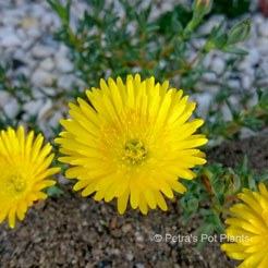 yellow Pigface